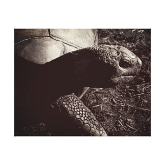 Tortoise Photograph in Sepia Canvas Print