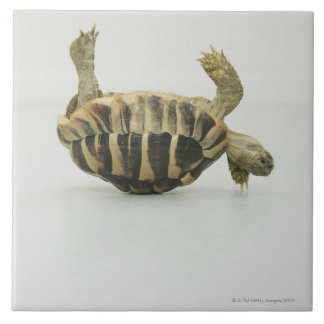 Tortoise upside down, balancing on shell tile