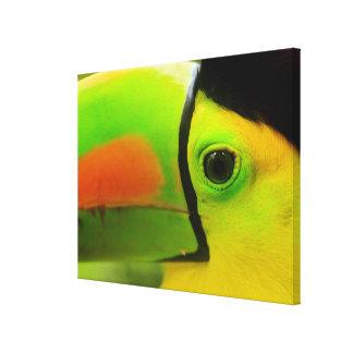 Toucan face close up, Belize Canvas Print