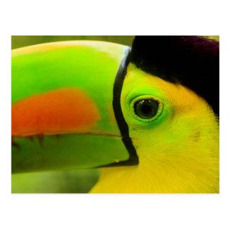 Toucan face close up, Belize Postcard