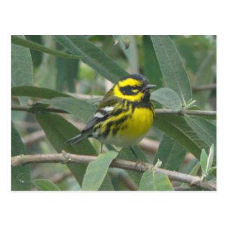 Townsend's Warbler postcard