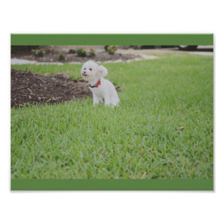 Toy Poodle Poster