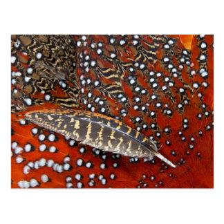 Tragopan feathers close-up postcard