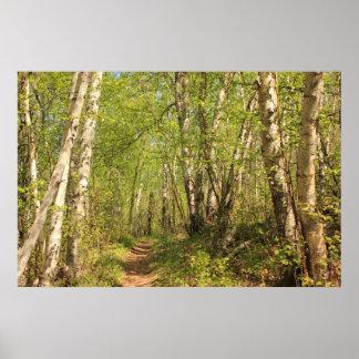 Trail Through Birches Poster