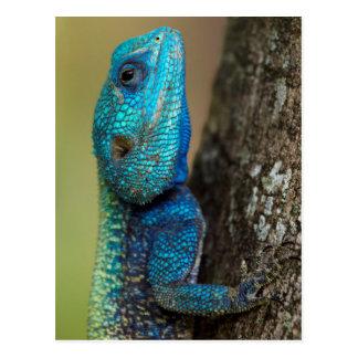 Tree Agama (Acanthoceros atricollis), Ndumo Game Postcard