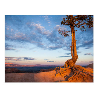 Tree Clings to Ledge, Bryce Canyon National Park Postcard
