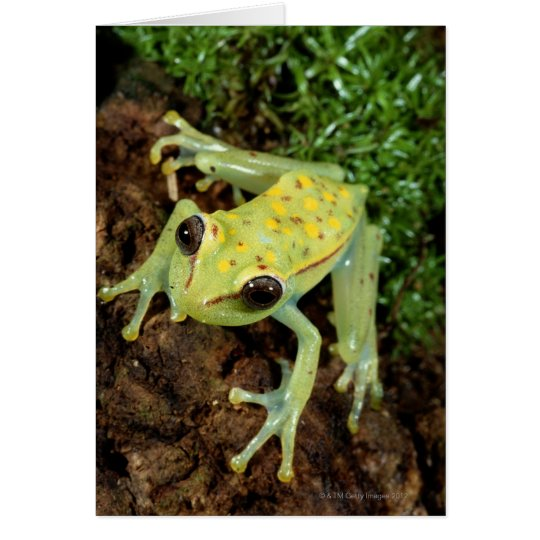 Tree Frog (Hylidae) Card