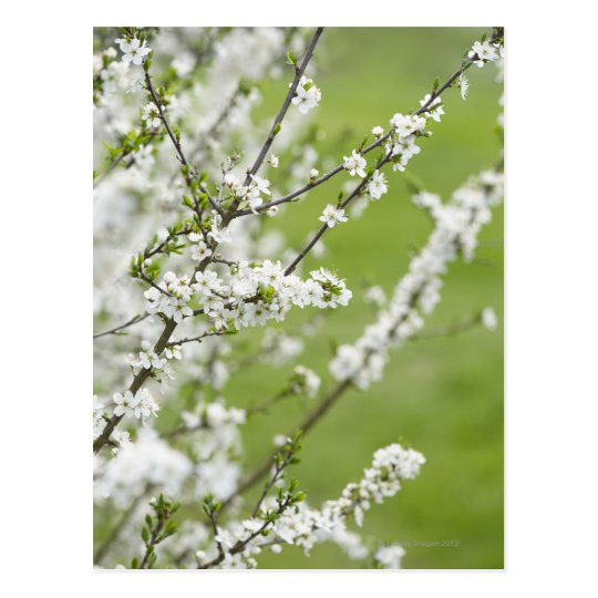 Tree in blossom. postcard