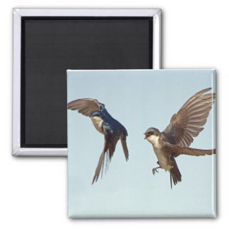 Tree Swallow Chase Magnet