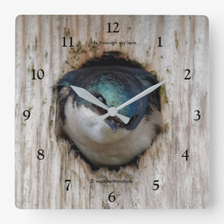 Tree Swallow in a Nestbox Square Wall Clock