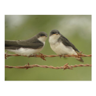 Tree Swallows Postcard