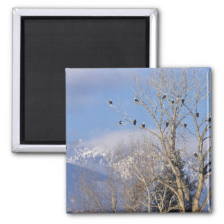 Treeful of bald eagles near Hamilton Montana Magnet