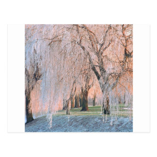 Trees Ice Covered Willow Postcard