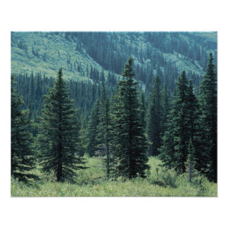 Trees in Glacier National Park , Montana Poster
