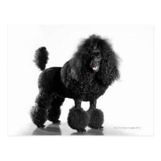 Trimmed black poodle postcard