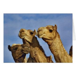 Trio of camels, camel market, Cairo, Egypt Card