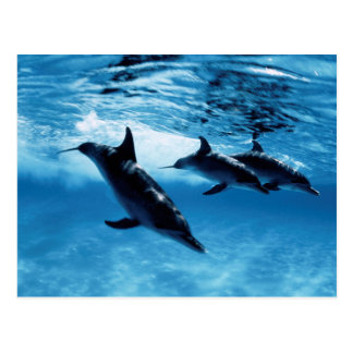 Trio of Dolphins Postcard
