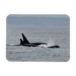Trio of Orca Whales Magnet