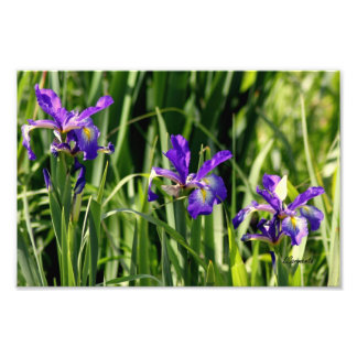 Triple purple  irises photo art