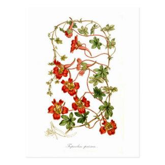 Tropaeolum speciosum postcard