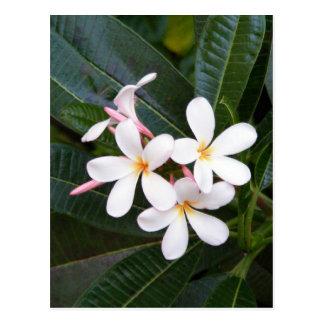 Tropical Hawaii White, Pink, Yellow, Plumeria Postcard