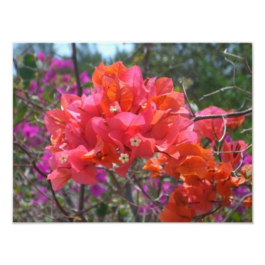 Tropical Pink Bougainvillea Photograph