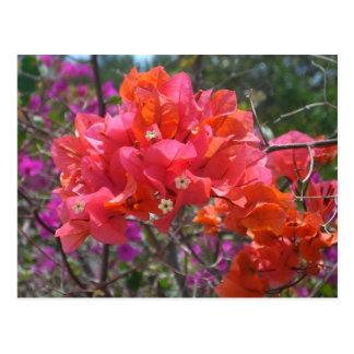 Tropical Pink Bougainvillea Postcard