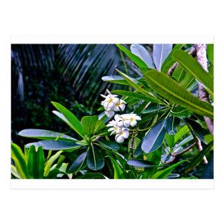 Tropical Plumeria Flowers Post Card