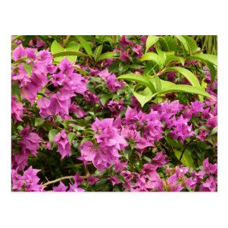 Tropical Purple Bougainvillea Flowers Postcard