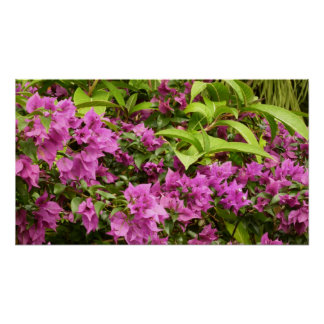 Tropical Purple Bougainvillea Poster
