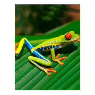 Tropical rainforest green red-eyed tree Frog Postcard