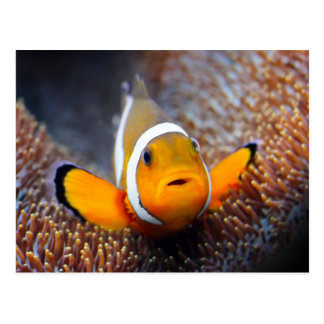 Tropical reef fish - Clownfish Postcard