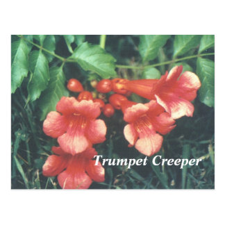 Trumpet creeper postcard