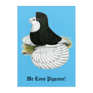 Trumpeter Pigeon Black Baldhead Acrylic Wall Art