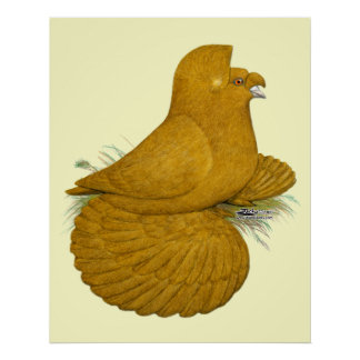Trumpeter Pigeon Yellow Self Poster