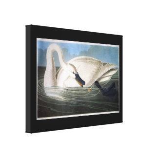 Trumpeter Swan by John James Audubon Canvas Print