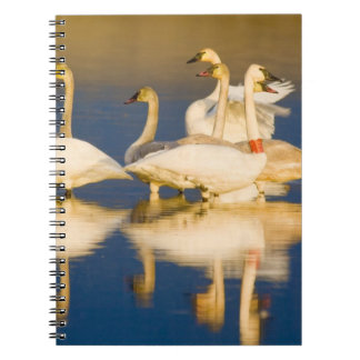 Trumpeter swan family in last light at pond at 2 note books