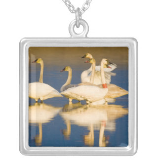 Trumpeter swan family in last light at pond at 2 silver plated necklace