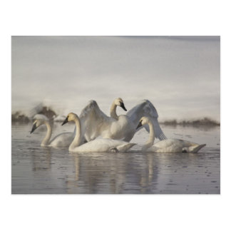 Trumpeter Swans in the Madison River in winter Postcard