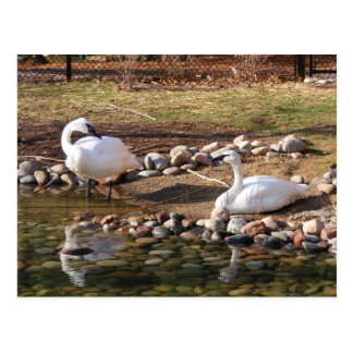Trumpeter Swans Postcard