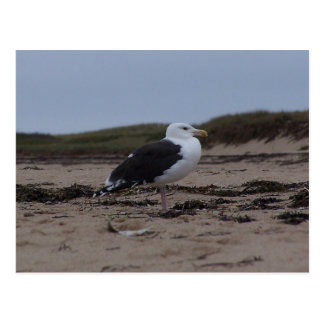Truro Gull Postcard