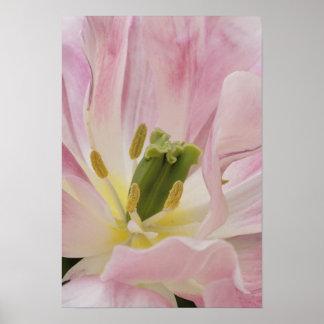 Tulip close-up, Keukenhof Gardens, Lisse, Poster