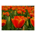 Tulip Delight 2 Posters