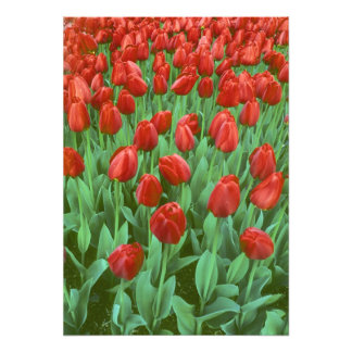 Tulip field blooms in the spring. photo print