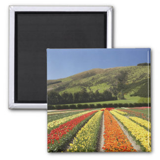 Tulip Fields near Tapanui West Otago South 2 Refrigerator Magnet