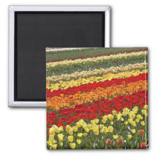 Tulip Fields, near Tapanui, West Otago, South Square Magnet
