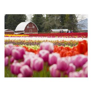 Tulip fields of Mt. Vernon, Skagit County, WA Postcard