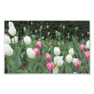 Tulip Garden Photo Print