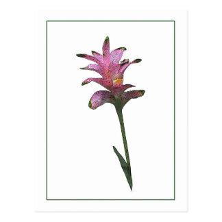 Tulip Ginger Botanical Photo-Sketch Postcard