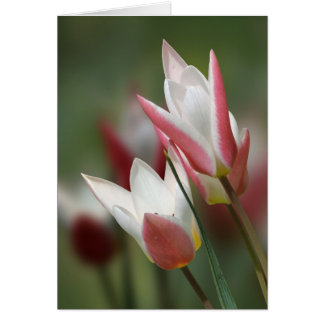 tulip Lady Jane birthday card